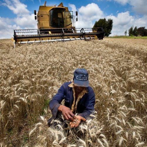 Climat: Les conséquences du réchauffement climatique sur les cultures céréalières